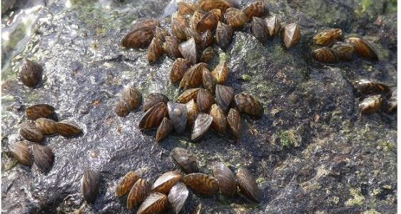 Zebra Mussels Found at Canyon Lake and Lake Travis
